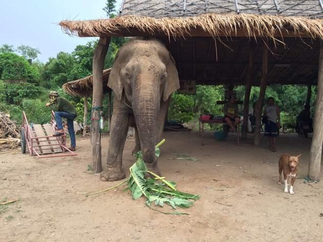elephant-thailand-2016