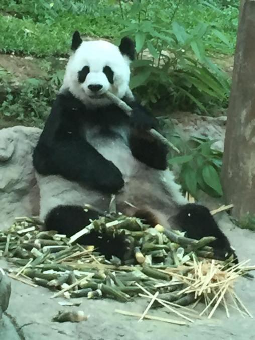 panda-chiang-mai