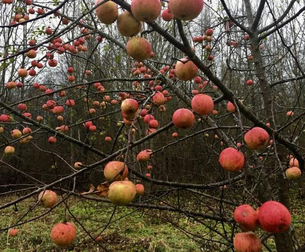 apples-november-2016